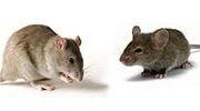 Для мышей и крыс