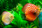 Для улучшения окраски рыб