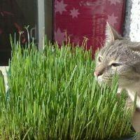 АВЗ Травка для проращивания для кошек